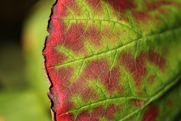 Tiro horizontal do close up da folha verde e vermelha bonita em um fundo borrado Foto gratuita
