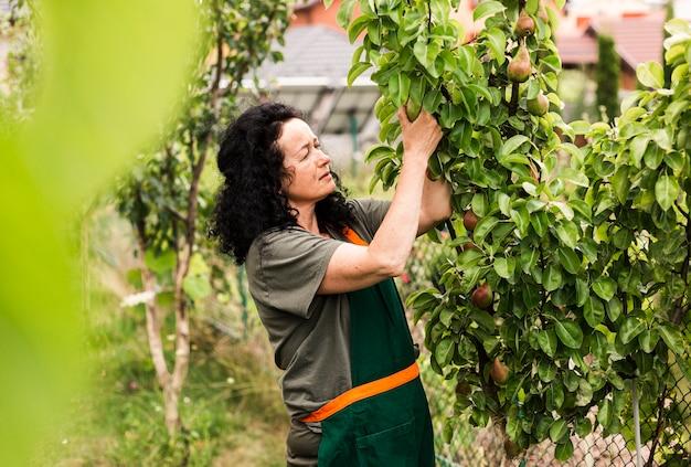 Tiro longo, mulher, colheita, pêras Foto gratuita
