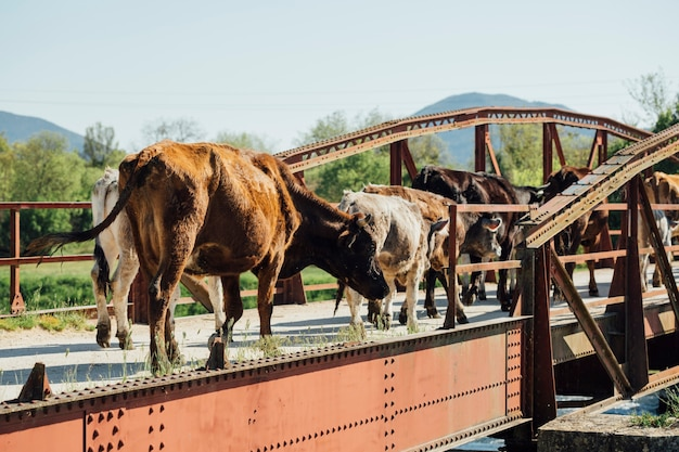 Tiro longo, vacas, andar, ligado, antigas, metal, ponte Foto gratuita