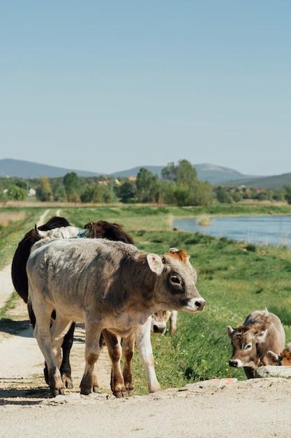 Tiro longo, vacas, andar, ligado, estrada sujeira Foto gratuita