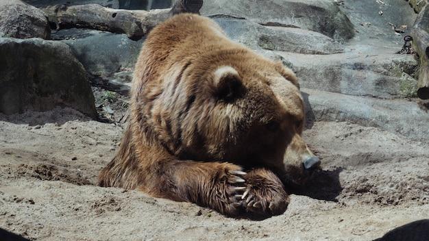 Tiro seletivo closeup de um urso deitado Foto gratuita