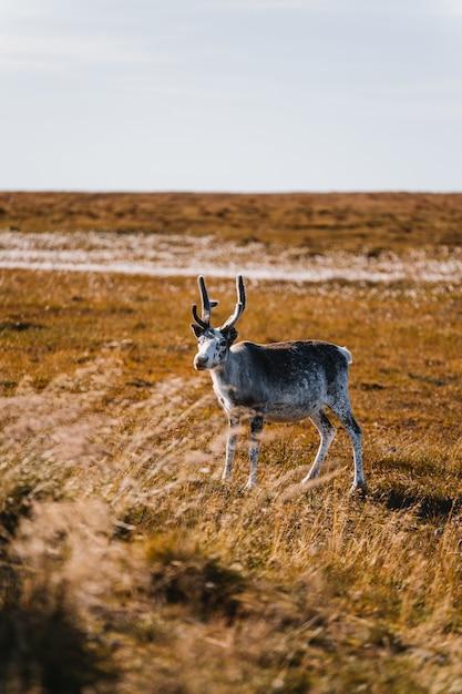 Tiro vertical de um animal branco e marrom em forma de cervo em um campo de trigo Foto gratuita