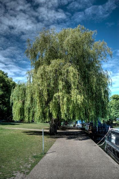 Tiro vertical de uma amoreira no parque em windsor, reino unido Foto gratuita