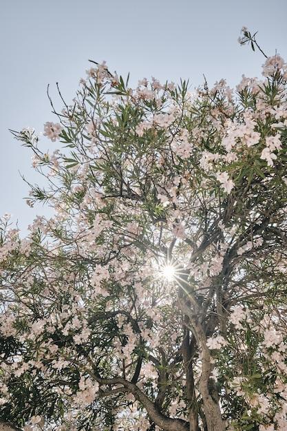 Tiro vertical de uma árvore de flor rosa com o sol brilhando através dos ramos Foto gratuita
