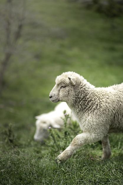 Tiro vertical de uma ovelha branca bonita na grama verde Foto gratuita