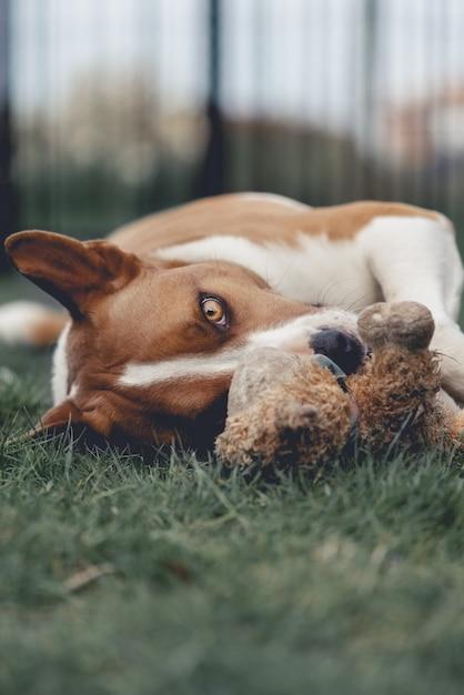 Tiro vertical do close up bonito de um cão branco e marrom com deitado em uma grama com um brinquedo Foto gratuita