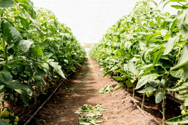 Tomate cereja em estufa visão de longo prazo Foto gratuita