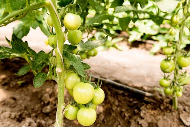 Tomate cereja em estufa Foto gratuita