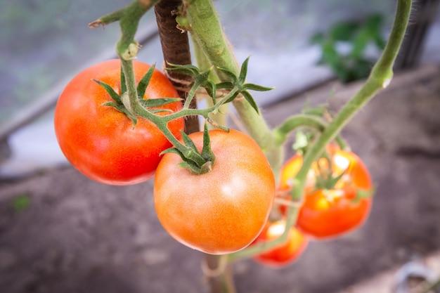Tomate crescendo em fazenda orgânica, tomates maduros naturais crescendo em um galho em estufa Foto Premium