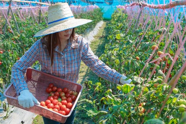 Tomate da colheita do fazendeiro da rapariga. conceito de agricultura e produção de alimentos. Foto Premium