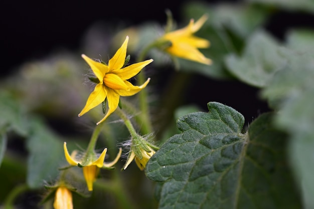 Tomate de planta jovem tomate florescimento Foto gratuita