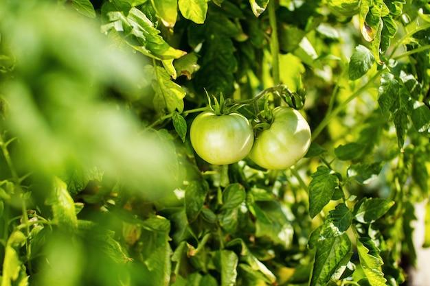 Tomate verde pendurar em um galho Foto Premium