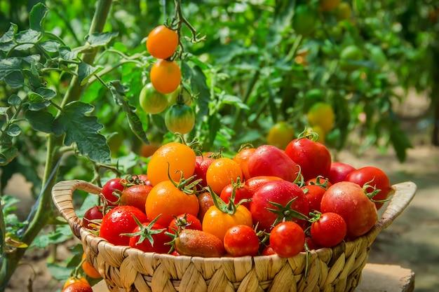 Tomates caseiros na cesta. foco seletivo. Foto Premium