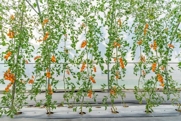 Tomates cultivados na casa de modernos sistemas de tecnologia agrícola Foto Premium