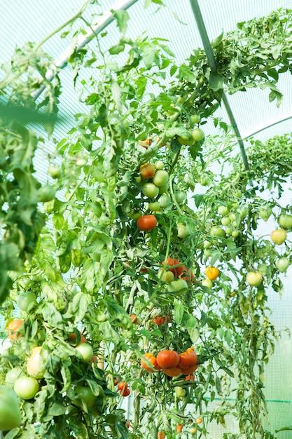 Tomates orgânicos em estufa Foto Premium