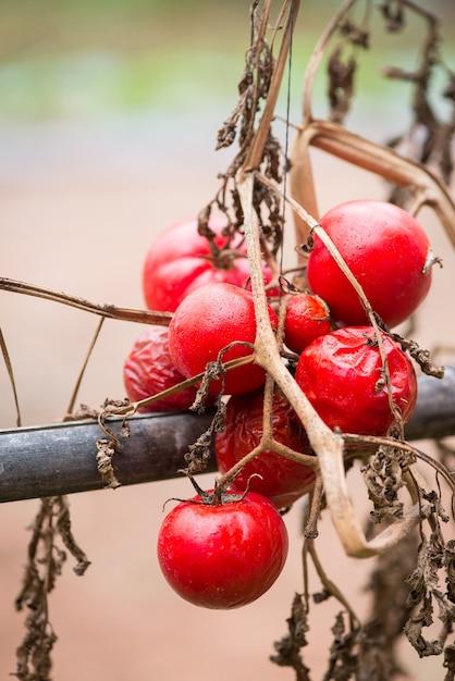 Tomates podres. Foto Premium