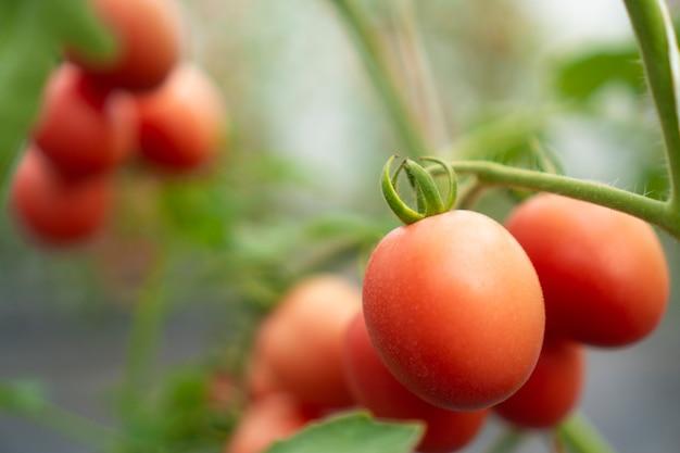 Tomates que são cultivados em estufas modernas Foto Premium