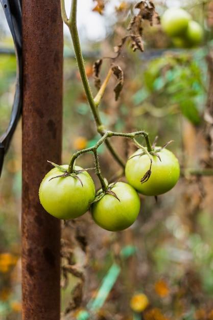 Tomates verdes Foto gratuita