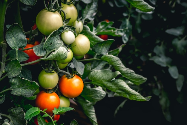 Tomates vermelhos e verdes que crescem na planta Foto Premium