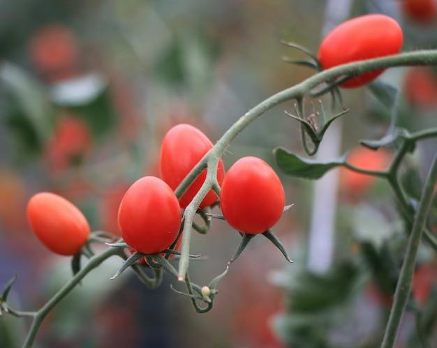 Tomates vermelhos maduros frescos crescendo na videira em estufa Foto Premium