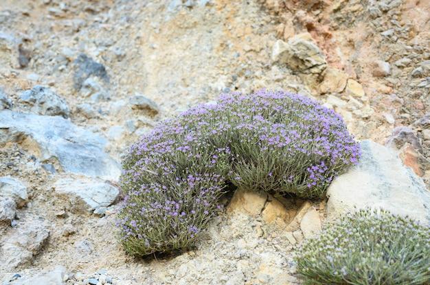 Tomilho selvagem grego da montanha bush que floresce flores roxas pálidas entre as pedras Foto Premium