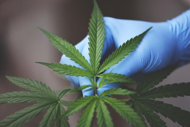 Toque de mão cannabis deixa a árvore de planta de maconha crescendo no escuro Foto Premium