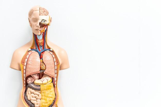 Torso humano com modelo artificial de órgãos na sala de aula de estudante de medicina em fundo branco, com espaço de cópia Foto Premium