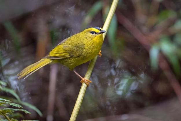 Toutinegra amarela empoleirada em um galho Foto Premium