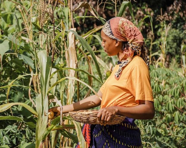 Trabalhador rural colhendo milho Foto gratuita