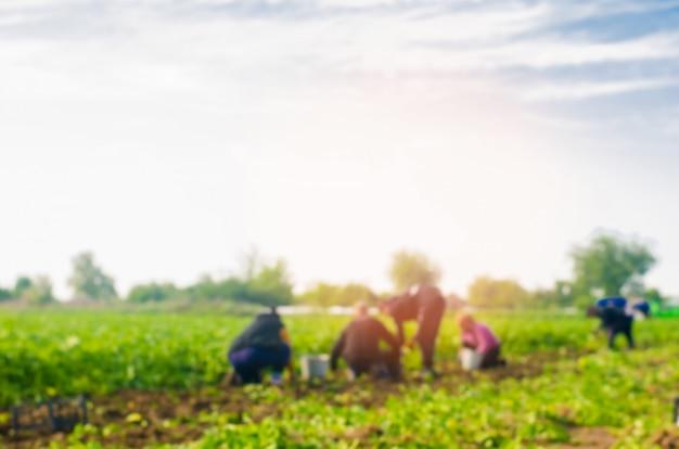Trabalhadores trabalham no campo, colheita, trabalho manual, agricultura, agricultura, agro-indústria Foto Premium