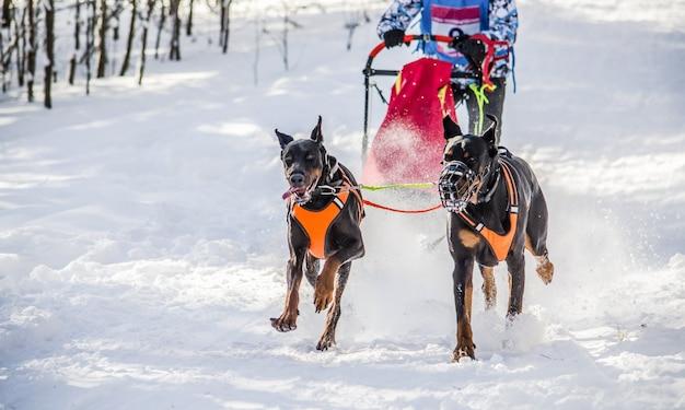 Trenós puxados por cães. equipe do cão de trenó com os dois dobermans no chicote de fios. fundo branco nevado Foto Premium