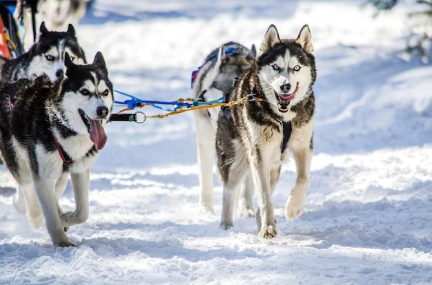 Trenós puxados por cães. equipe do cão de trenó do cão de puxar trenós siberian no chicote de fios. Foto Premium