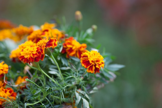 Trepadeira de flor de laranjeira. decoração de outono Foto Premium