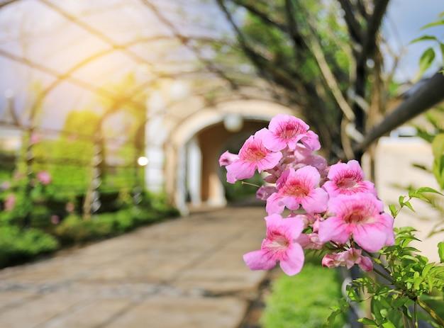 Trepadeira de zimbabwe, videira de trombeta vermelha, flores cor-de-rosa que florescem no jardim. Foto Premium