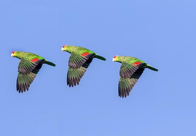 Três araras em uma fileira voando no céu azul, papagaios voando pelo céu Foto Premium