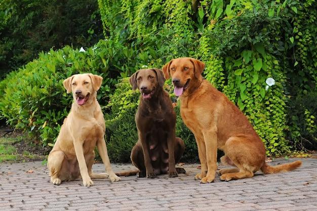 Três, chesapeake, baía, retriever, cachorros Foto Premium