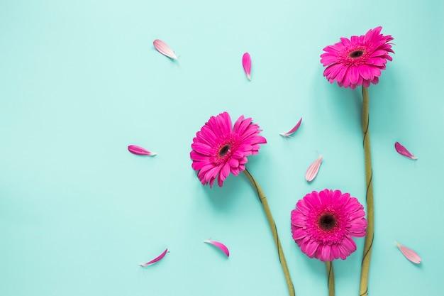 Três, cor-de-rosa, gerbera, flores, com, pétalas Foto gratuita