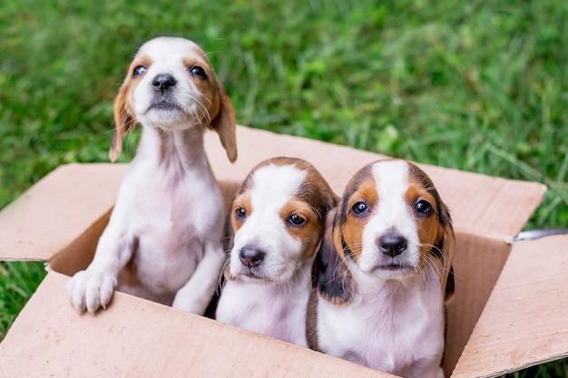 Três filhotes da raça são cães da estônia em uma caixa de papelão, acondicionados para venda Foto Premium