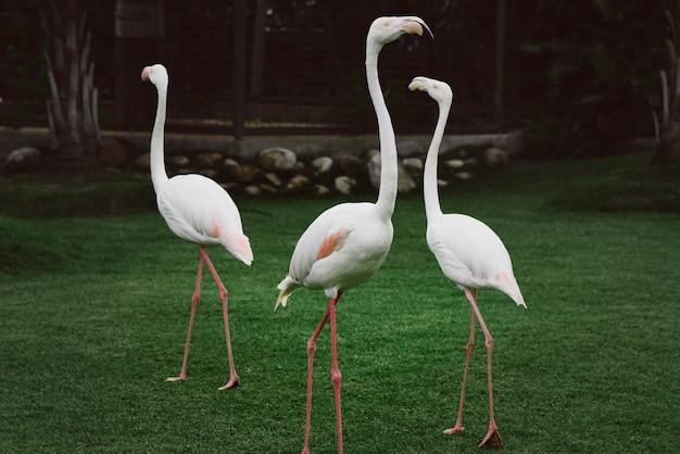 Três flamingos brancos Foto gratuita