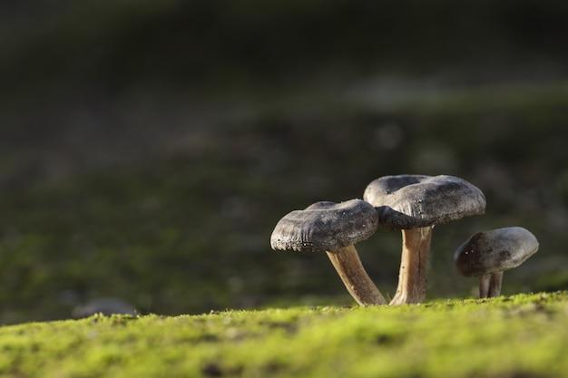 Três fungos de lyophyllum littorina Foto gratuita