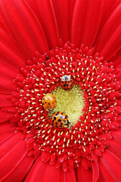 Três joaninhas em um close up gerbera vermelho brilhante Foto Premium