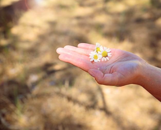 Três margaridas brancas na palma da mão humana ao sol Foto Premium