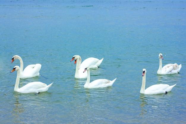 Três pares de cisnes brancos nadam no lago Foto Premium