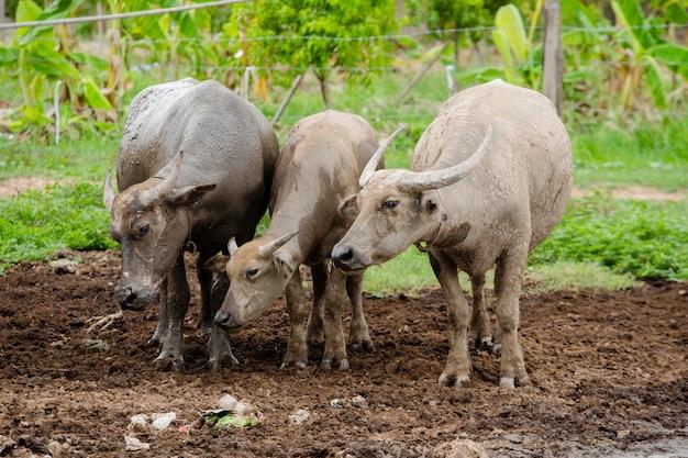 Três tailandeses buffalo ficar na lama Foto Premium