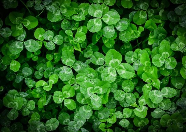 Trevo, planta verde Foto Premium