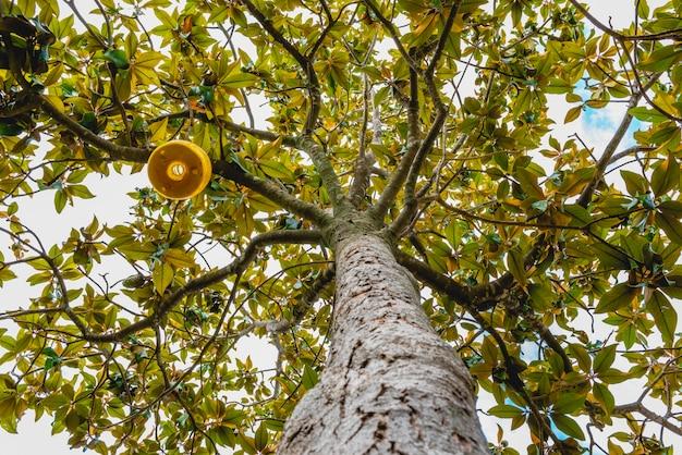 Tronco e galhos de uma árvore magnolia Foto Premium