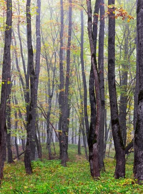 Troncos de árvores de carvalho no outono floresta nublada Foto Premium