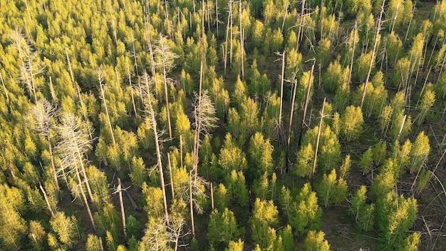 Troncos de árvores secos e queimados na floresta do topo Foto Premium
