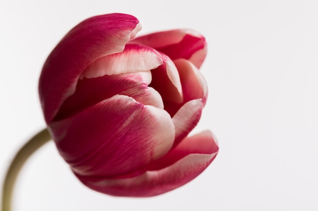 Tulipa aberta vermelha isolada na superfície branca Foto gratuita