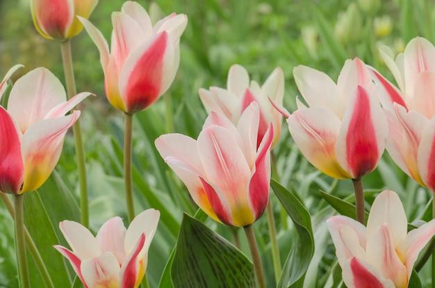 Tulipa de lenda de fronteira. lindas flores da primavera Foto Premium